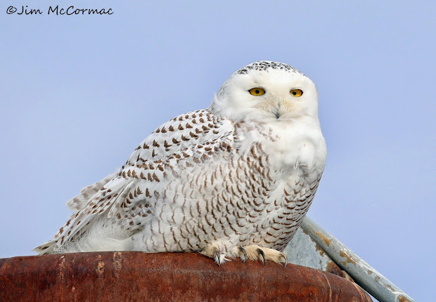 Snowy Owls Irrupt