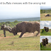 This is what happens when a Buffalo messes with an Elephant's kid (Photos)