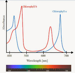 photosynthetic action spectrum