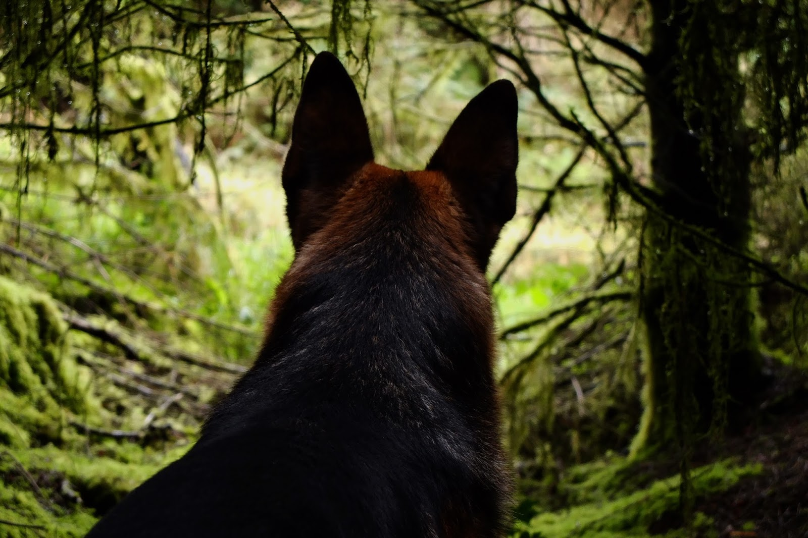 The back of a German Shepherd looking out of the forest with his ears up.