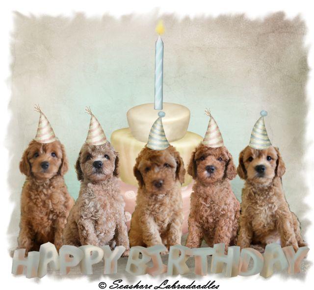 HAPPY BIRTHDAY!!! Seashore Labradoodle's Blog!