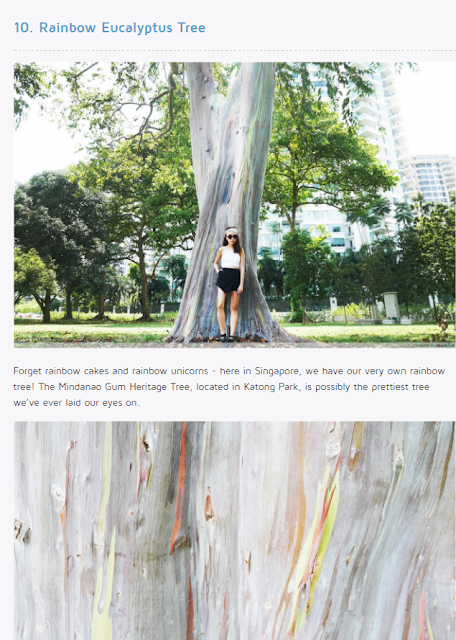 Singapore - Rainbow Eucalyptus Tree