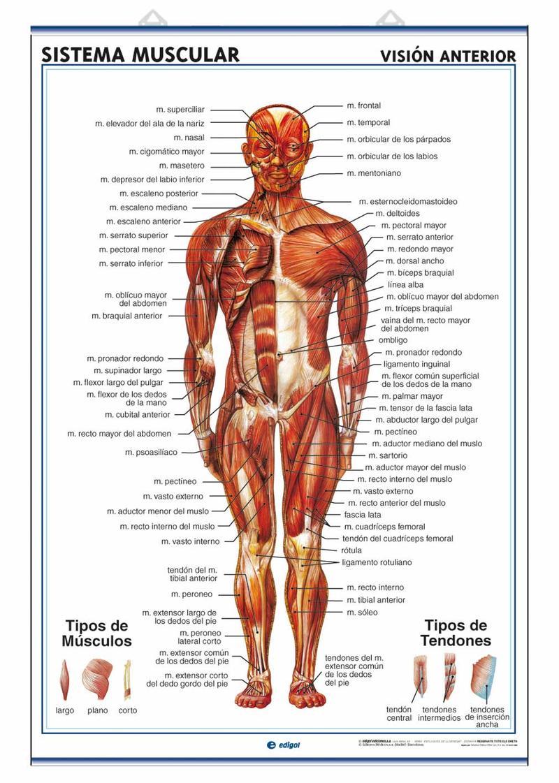 Asombroso Pdf Anatomía Del Cuerpo Humano Elaboración - Imágenes de ...