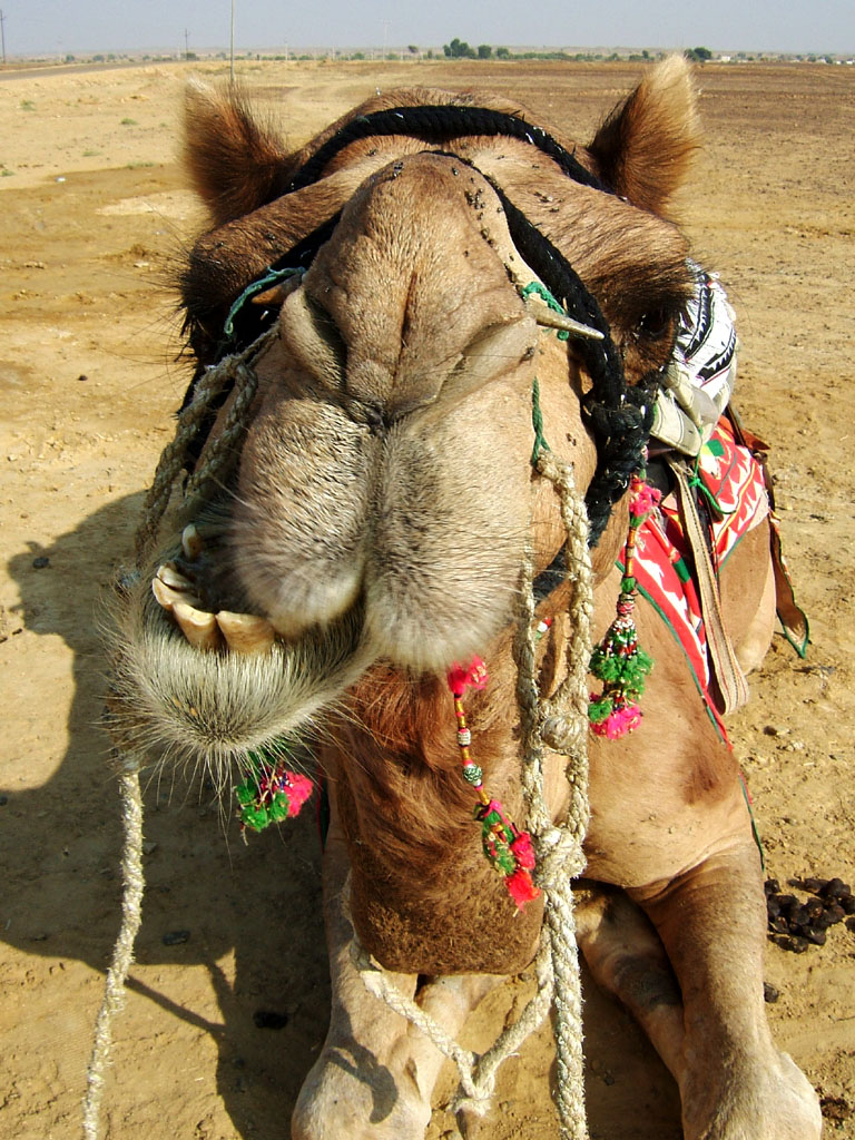 Latest Funny Pictures Funny Camel Face