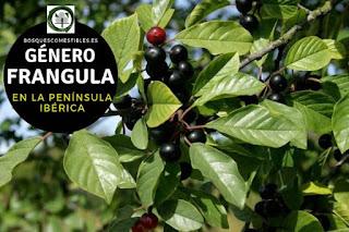 El género Frangula son arbustos o pequeños arbolillos caducifolios, que pueden llegar alcanzar hasta 4 o 5 m. de altura