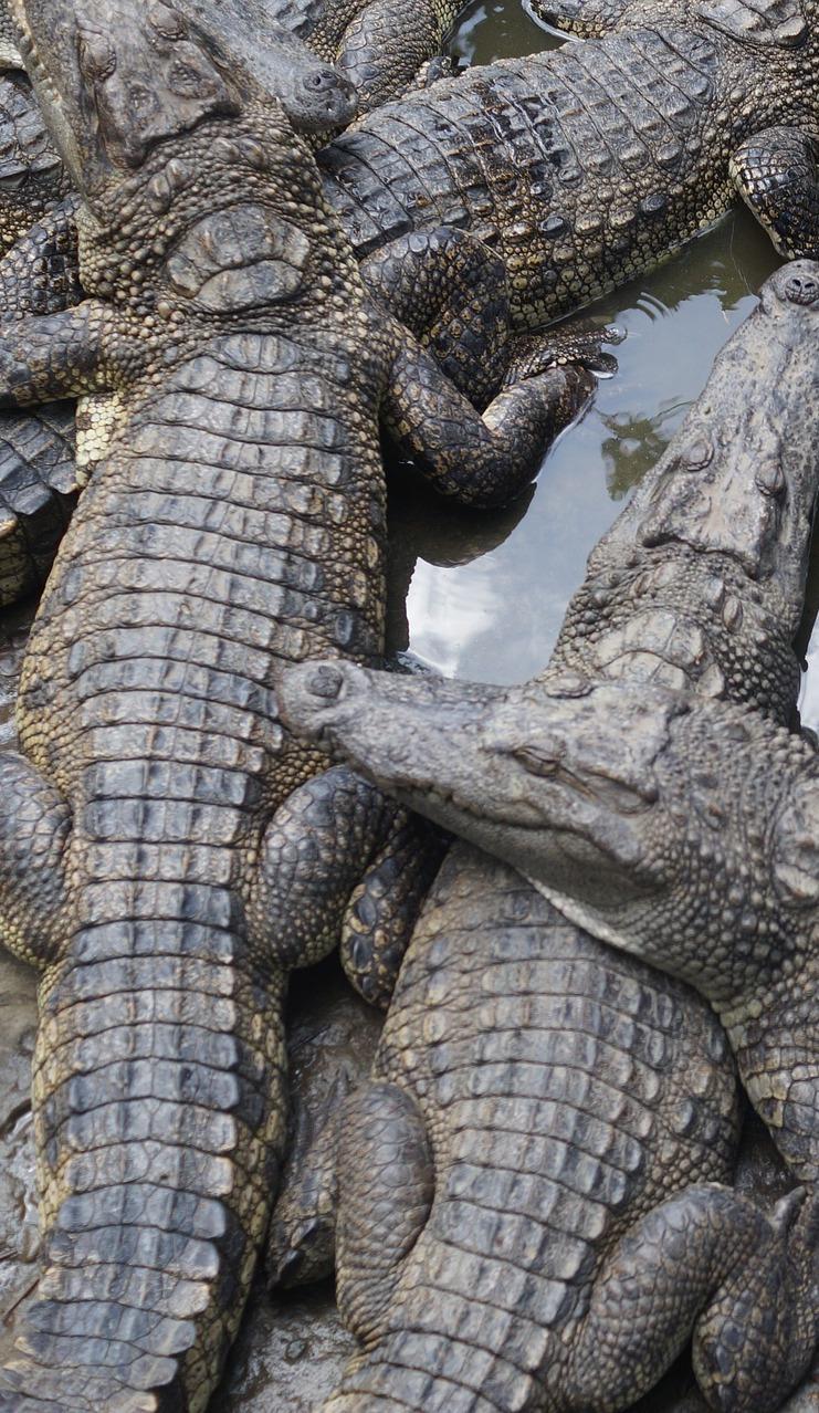A group of crocodiles.