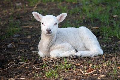 manfaat-daging-domba-bagi-kesehatan,www.healthnote25.com