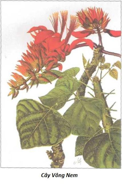 CÂY VÔNG NEM - Erỵthrina orientalis - Nguyên liệu làm Thuốc Ngủ, An Thần, Trấn Kinh