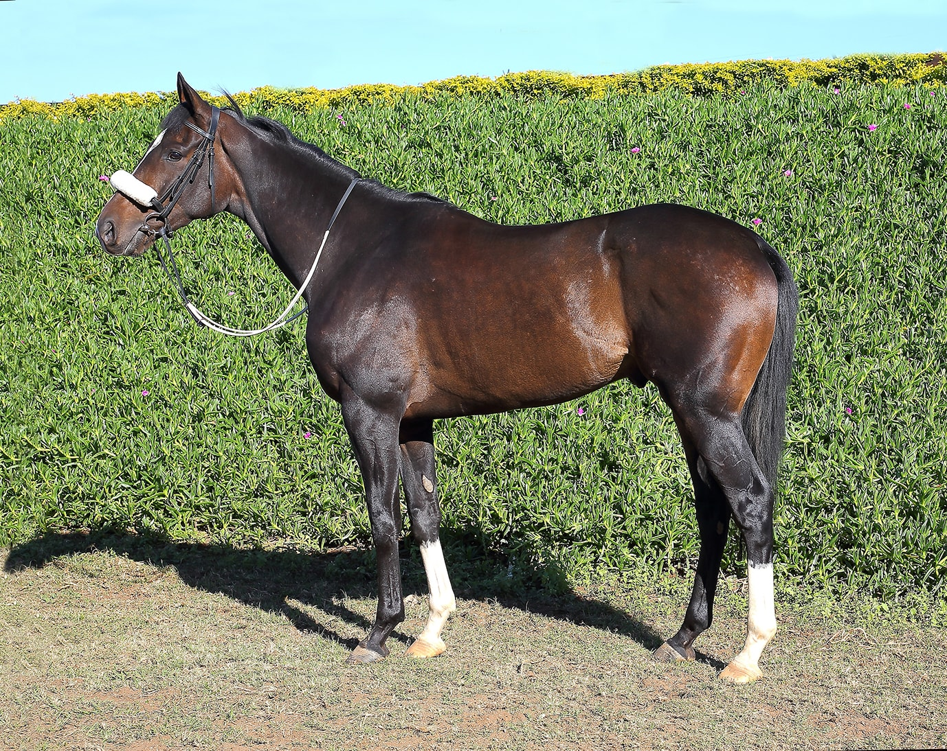 Breeder: Northfields Do It Again - Horse Profile - Sire: Twice Over (GB) -  Dam: Sweet Virginia by Casey Tibbs (IRE) - Vodacom Durban July