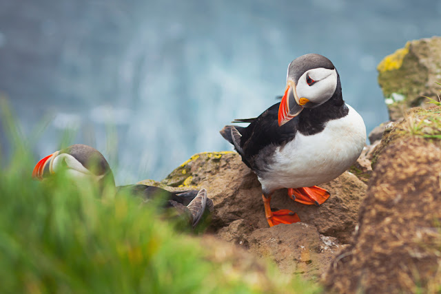 Icelandic horned puffin in Latrabjarg during Iceland's summer