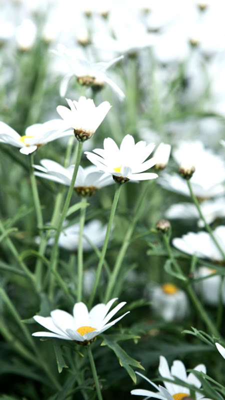 Spring Wallpaper White Flowers Image Zoom Wallpapers