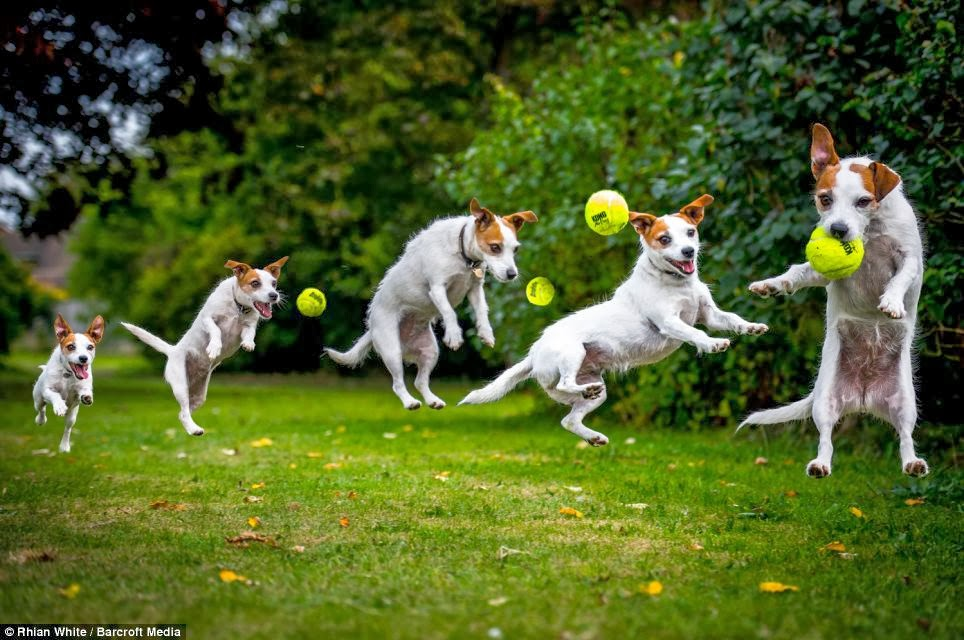 Jumping for joy! Hilarious freeze-frame photographs capture playful dogs on camera as they leap through the air.