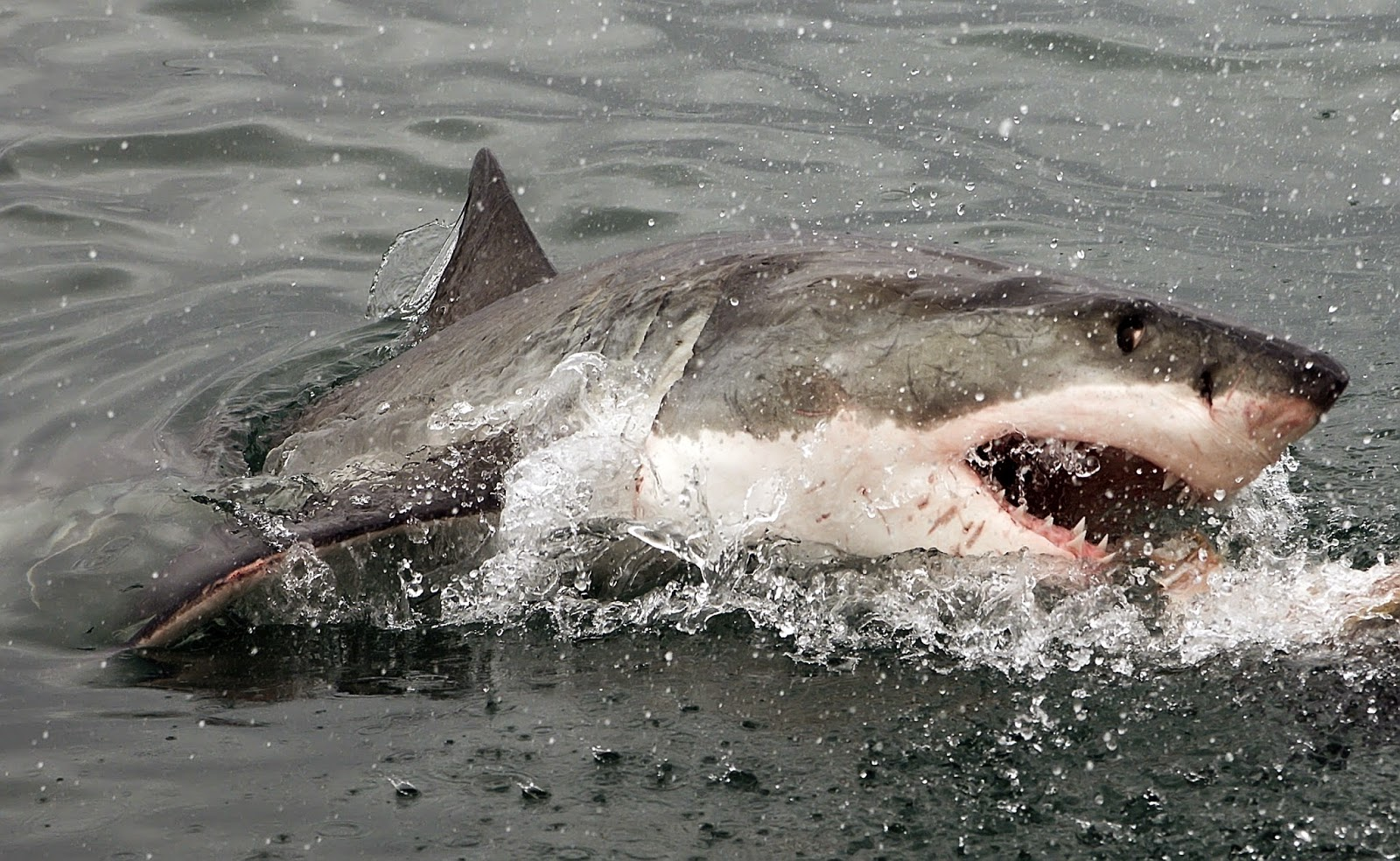 Fierce great white shark breaking the surface