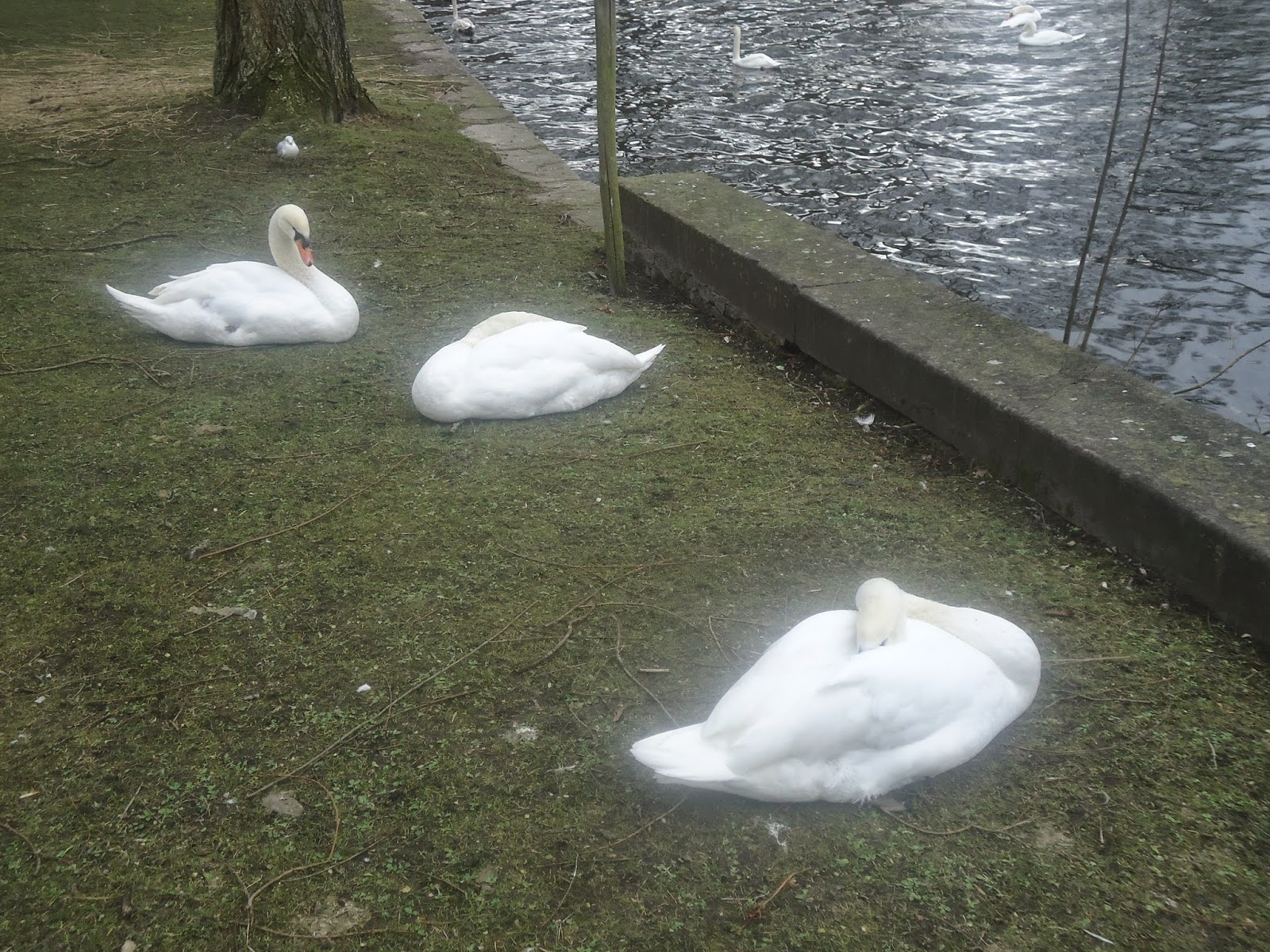 The tale of the White Swans in Bruges (Belgium)