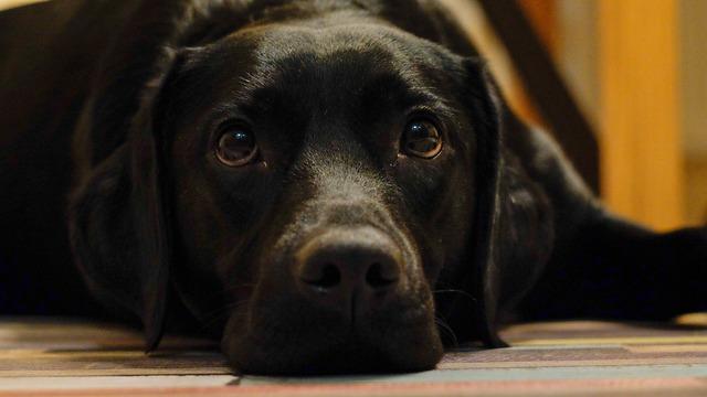 Razas de perros para personas alérgicas