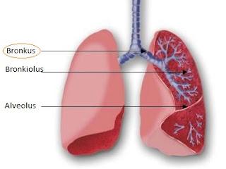 Gambar bronkus, bronkiolus dan alveoulus