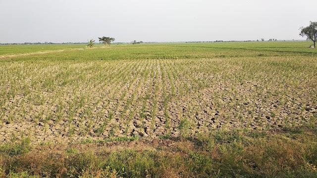 Jawa Barat Alami Kekeringan akibat Kemarau, Ratusan hektar sawah di Indramayu terancam gagal panen