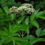 sambucus nigra planta