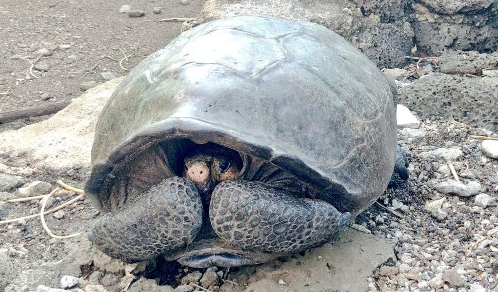 Galapagos: scoprono specie di tartaruga che si credeva estinta 100 anni fa