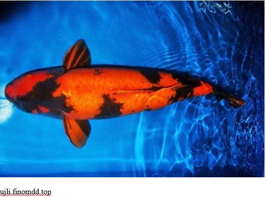 Ikan Koi Tercantik di Dunia