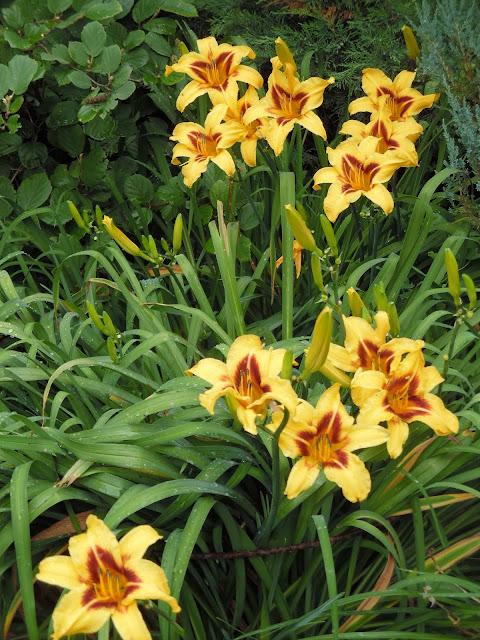 kępa liliowców w ogrodzie