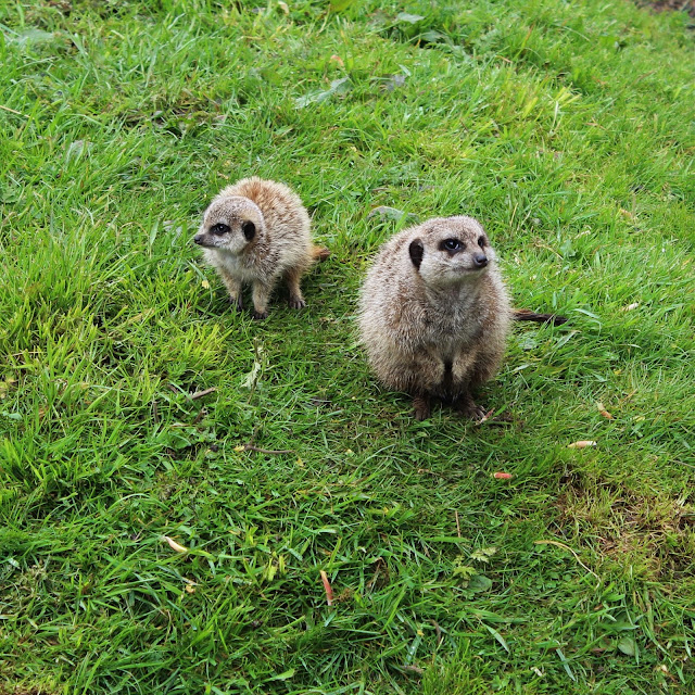 meerkats on grass