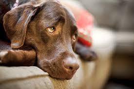 Imagem de um cachorro com um olhar super triste