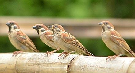 Burung jenis ini sanggup ditemukan dengan gampang di banyak sekali wilayah Indonesia Asal-Usul Nama Burung Gereja