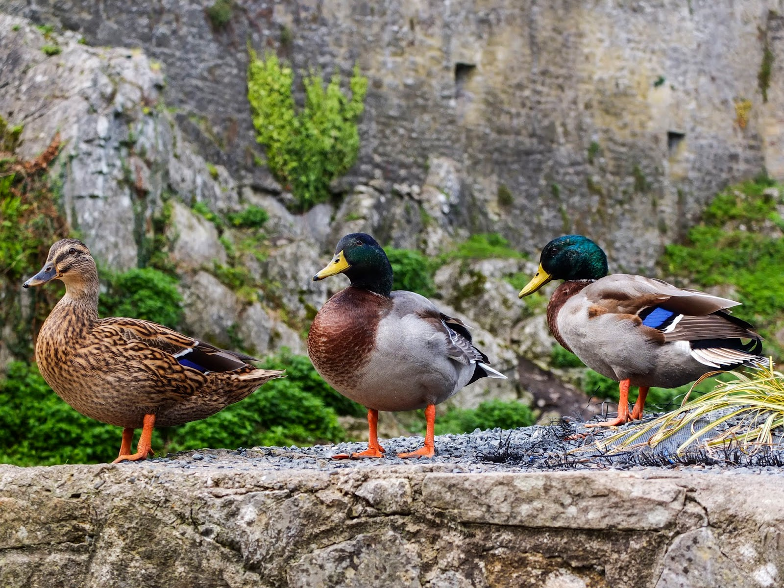 Three ducks on a stone wall outside the Cahir Castle, Co.Tipperary.