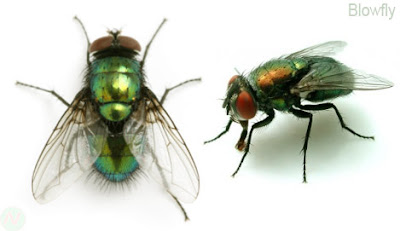 Blowfly, Blowfly insect