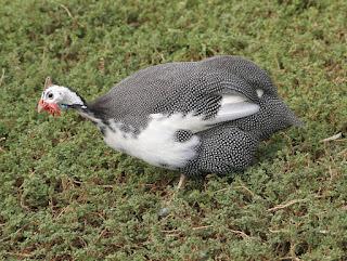 Ayam Mutiara Plangkok