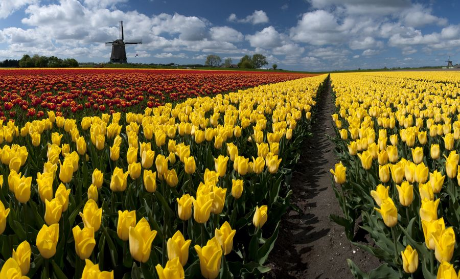 19. Out In the Tulip Fields by Brendan Schoon