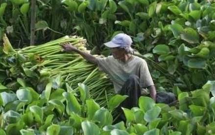 Eceng gondok yaitu flora air yg gampang hidup dimana saja Manfaat Daun Eceng Gondok bagi Kesehatan
