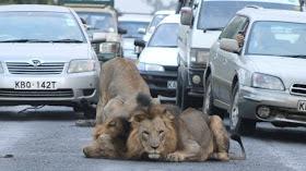 lion on the road nairobi kenya