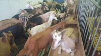Polícia e ativistas resgatam 500 animais que seriam mortos em rituais