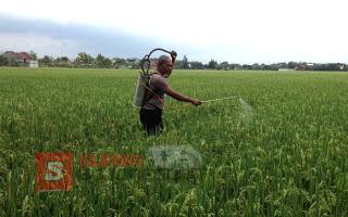 Hama Wereng Suka Kondisi Lembap, Ini Anjuran Dinas Pertanian Bojonegoro