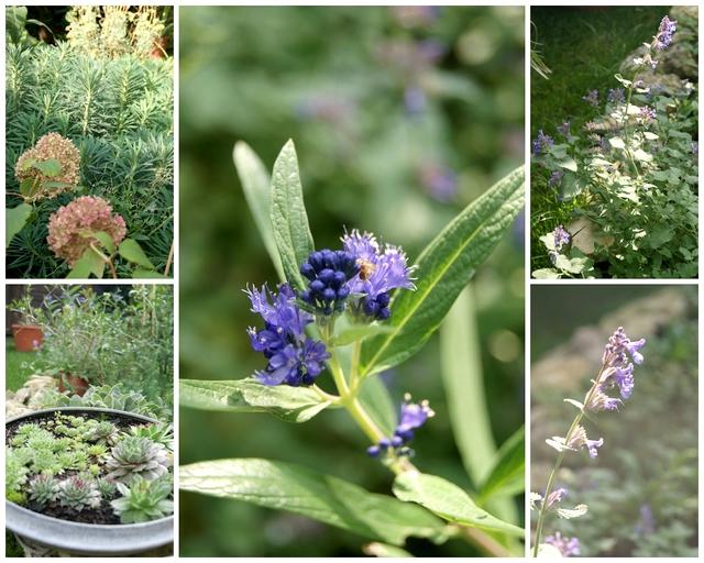Bartblume Katzenminze Euphorbia Hortensie Annabelle im Oktober