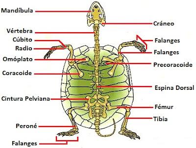Imagen del esqueleto de la tortuga a colores