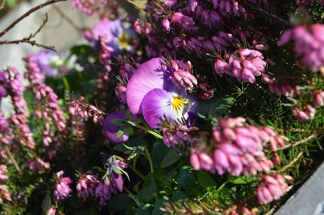 Ideer til vårblomstring i krukker - i fagrne rosa/lilla - Herlig vårlyng samplantet med fioler/stemor
