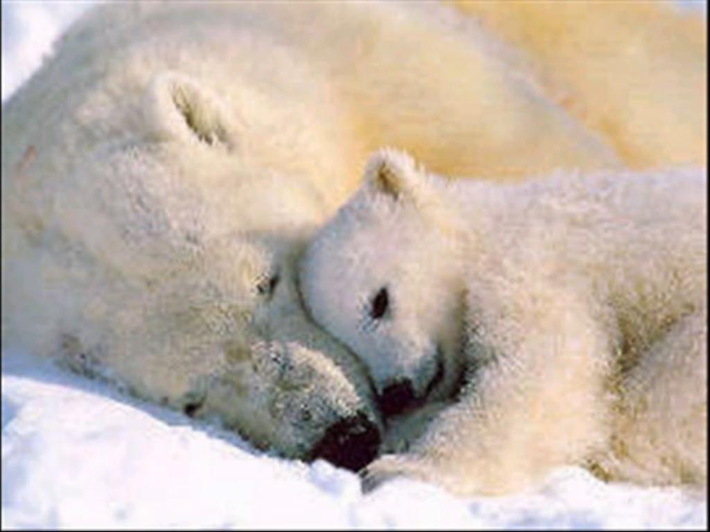 baby polar bears sleeping in the ice baby polar bears