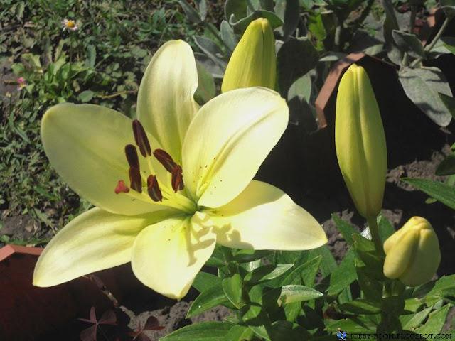 лилия желтая низкорослая