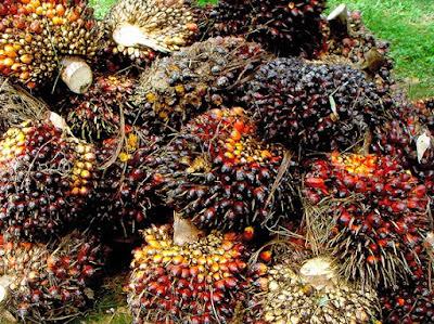 Frutti di Elaeis guineensis