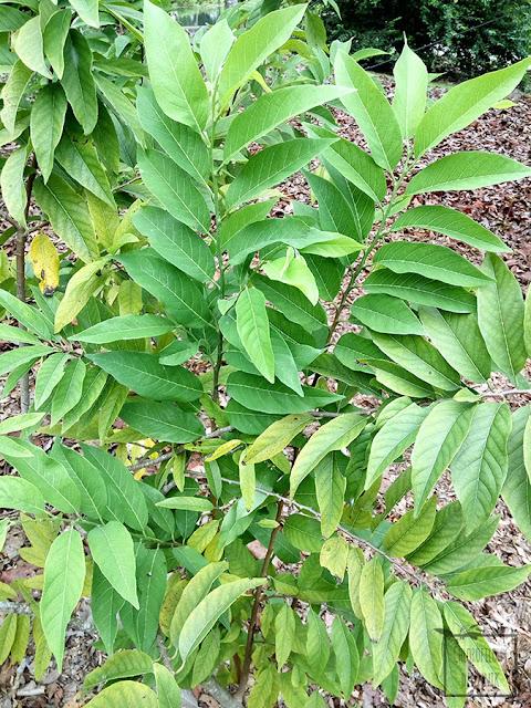 Flaszowiec łuskowaty (Annona squamosa) - sugar apple, tropikalny owoc, egzotyczne rośliny owocowe. Pochodzenie, historia, nazewnictwo, pielęgnacja, uprawa, opis, wygląd, hodowla, siew. Jak wygląda flaszowiec, jak siać, jak pielęgnować, jak wygląda owoc?