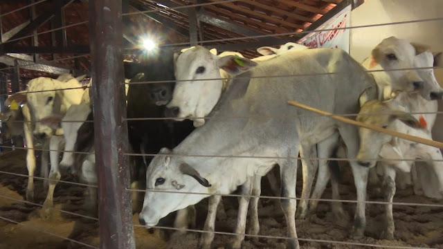 Mais de 300 bovinos vão a leilão solidário do hospital de câncer em Rolim de Moura