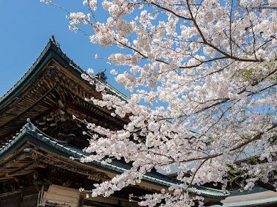 Somei-yoshino (Prunus × yedoensis.) blossoms: Kencho-ji