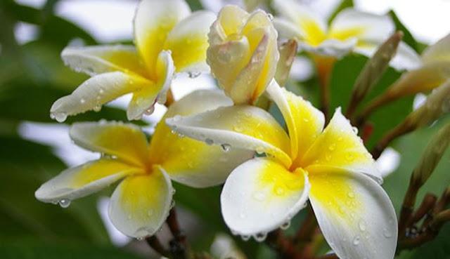 mitos bunga kamboja