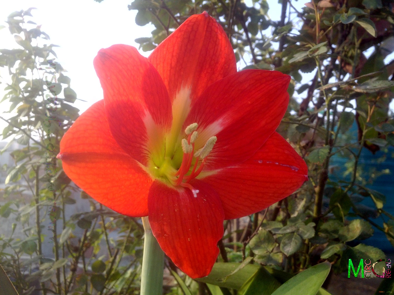 Metro Greens: Amaryllis Lily Bloom