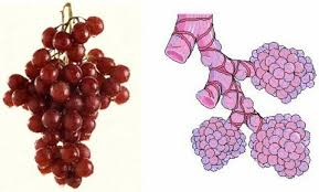 GRAPES FOR LUNGS