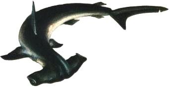 Foto a la espalda del Tiburón Martillo