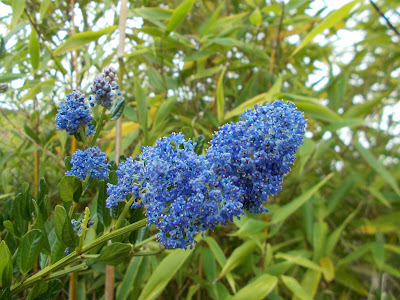 Ceanothus thyrsiflorus Green Fingered Blog
